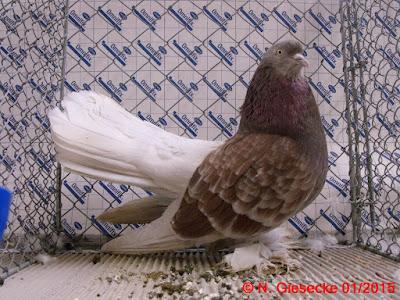 roller pigeons - Rouleur de Perse