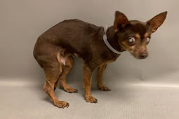 Blind tiny senior chi is just heartbreaking..little old lady should not spend another minute at shelter