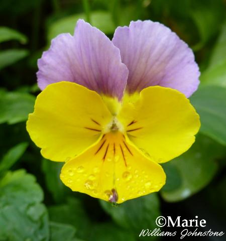 Viola Cornuta Flower Head