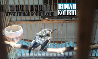 perawatan kolibri sakit