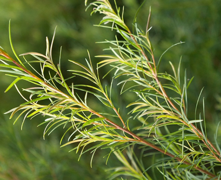 Minyak Pohon Teh (Tea Tree Oil) Untuk Rambut