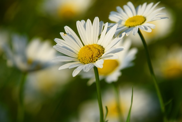 hinh hoa cuc