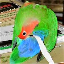 Macam Penyakit Love Bird ]  Love Bird Solusion Saat ini lovebird merpakan burung yang sedang popular dan banyak orang telah memeliharanya. Ada yang memelihara lovebird sebagai hobi ataupun membudidayakannya sebagai pengeruk keuntungan. Tetapi taukah anda tentang macam penyakit lovebird?. Budidaya lovebird memang sangat menarik tapi alangkah baiknya sebelum memulai budidaya lovebird kita mengenal terlebih dahulu macam penyakit lovebird dan tindakan penanggulangannya.