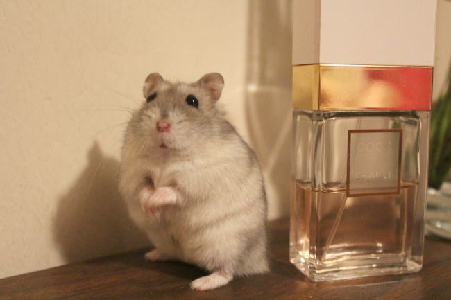What to think about if you're considering buying Russian dwarf hamsters. Nourish ME - www.nourishmeblog.co.uk