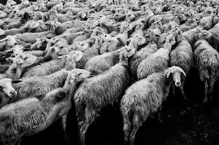 herd mentality sheep