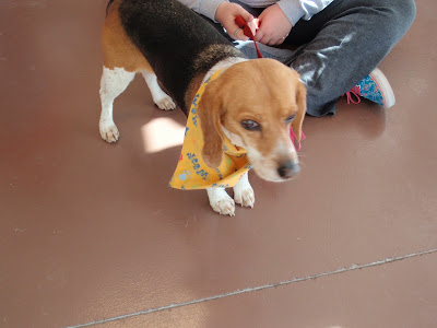 a small beagle named SHY- Carmapoodale.com