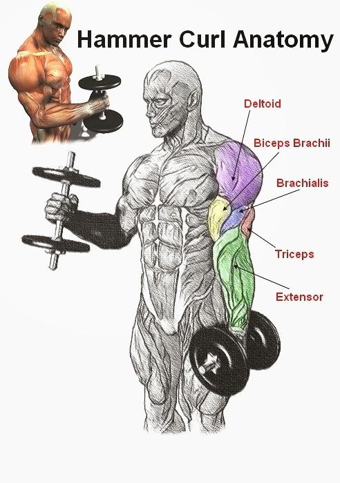brachialis exercise - photo #23