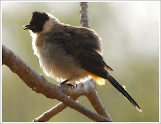 Burung Kutilang Liar