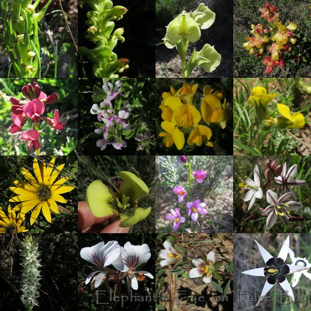 Myburghskloof above Hout Bay October flowers