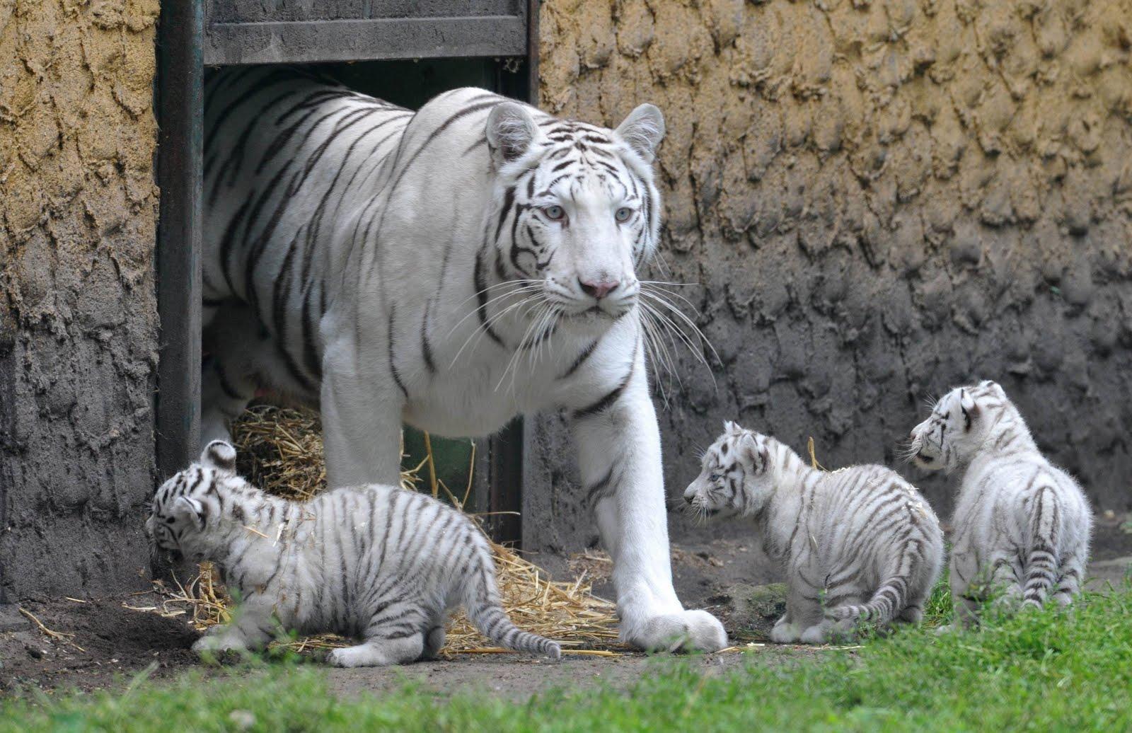 Tigre-Branco | Características dos Tigres-Brancos