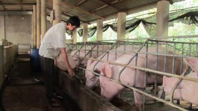 Bộ NNPTNT khuyến nghị, tổng đàn heo thịt tồn đọng rất nhiều, không thể sốt hàng vào cuối năm, người dân cần thận trọng không tăng đàn. Ảnh: PV