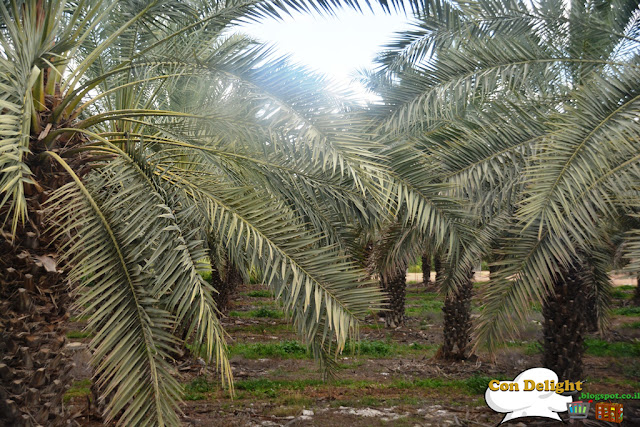palm tree עץ תמר