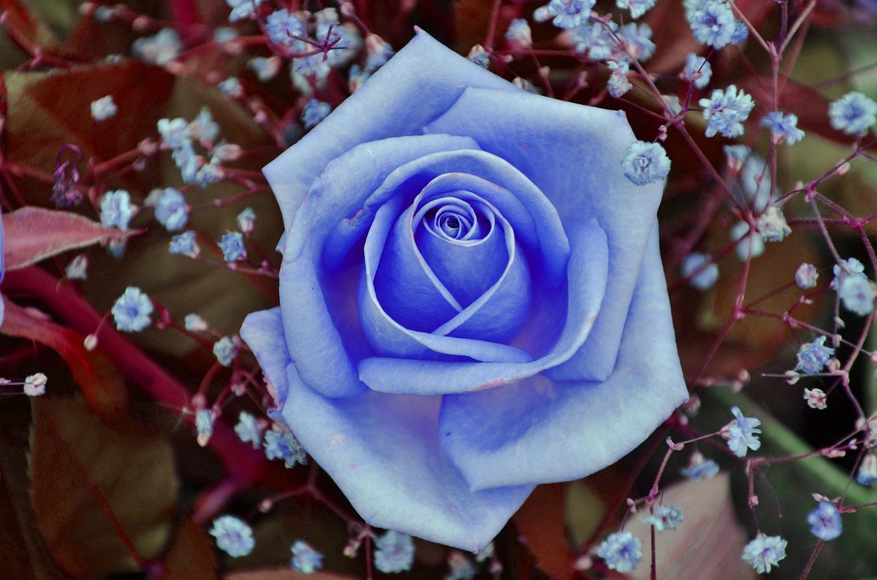 mein rosenbeet gibt es blaue rosen. Black Bedroom Furniture Sets. Home Design Ideas