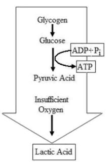 glikolisis anaerobik