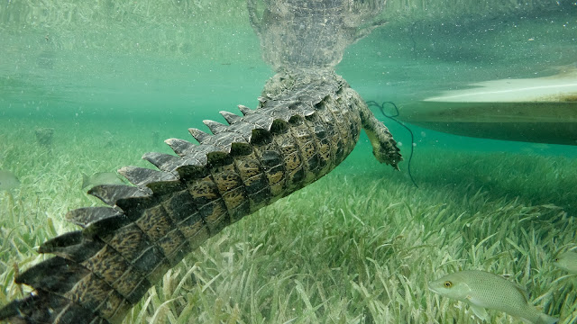 Close up crocodile encounter in Jardines de la Reina