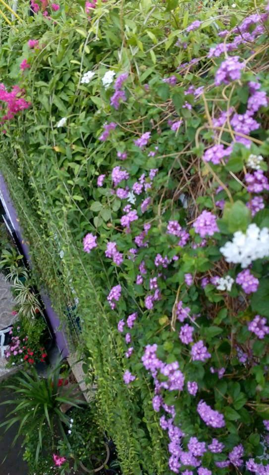 Rumah Bunga Neisha Rumah Bunga Neisha Cantiknya Tirai Hijau Tanaman Lee Kuan Yu Alias Janda Merana