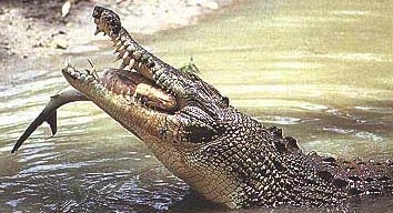 The Saltwater Crocodile - Crocodylus porosus