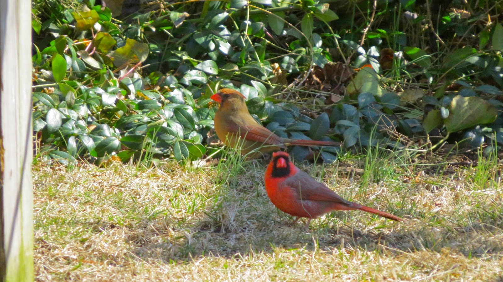 Mr.-and-Mrs.-Cardinal-Build-A-Nest