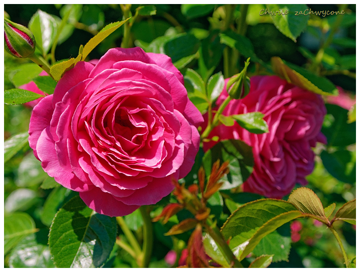 róża Gemma, rosa gemma Harkness