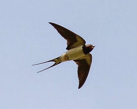 Swallows, swifts and house martins - are they different species?