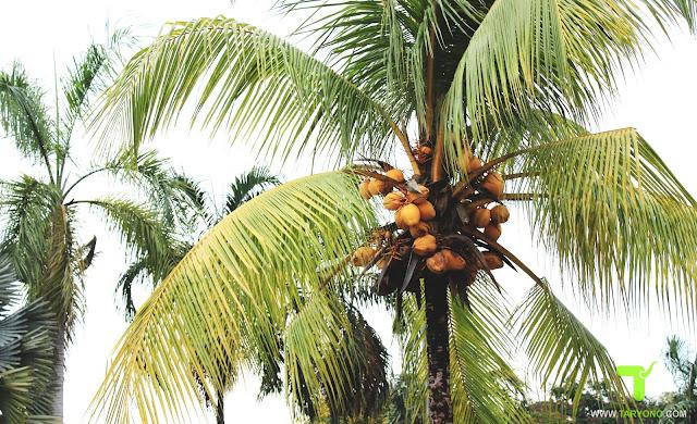 Cara Mengatasi Hama pada Pohon Kelapa