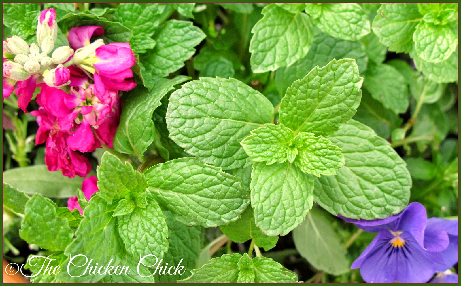 """A credible herbalist will not use the term """"antibiotic"""" in describing the actions of an herb. Herbs are not antibiotics. Antibiotics act by killing the invading bacteria without regard for anything else it may disrupt or damage.  Herbs should be used to nourish, support and stimulate the bodily functions to act normally, thereby fighting off pathogens naturally of their own accord.  The misuse of herbs can cause them act indiscriminantly and destructively, much like antibiotics."""