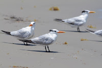 Caspian terns (Credit: Anna Hesser/flickr) Click to Enlarge.