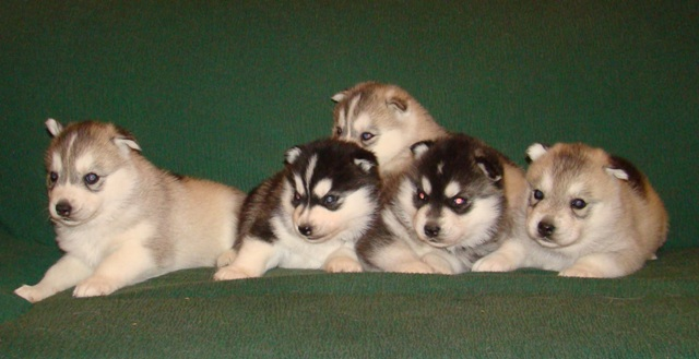 Cachorros Husky Siberiano Disponibles Yentls Melody