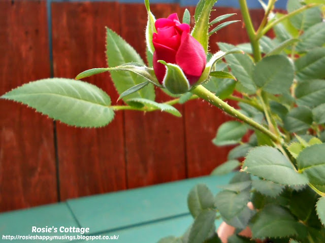 First Perfect Miniature Rose Of Spring...