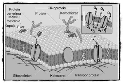 Struktur Sel, Fungsi Bagian-bagian Sel, Membran Sel, Inti Sel, Sitoplasma, Gambar Membran Sel, Gambar Inti Sel, Apa itu Membran Sel, Apa itu Inti Sel, Apa itu Sitoplasma.
