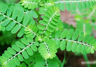 STIMUNO UNTUK BALITA : Suplemen Herbal Bersertifikat Fitofarmaka Untuk Meningkatkan Imun Tubuh Pada Anak