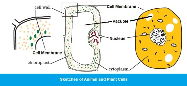 CBSE Class VIII (8th) Science | Chapter 8  CELL — STRUCTURE
