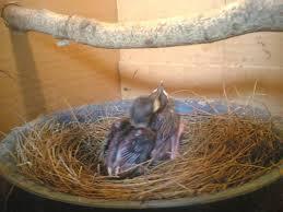 Burung Murai Batu - Perawatan Anakan Burung Murai Batu Selama Umur 1 (Satu) Bulan Sampai Menginjak Umur 2 (Dua) Bulan - Penangkaran Burung Murai Batu