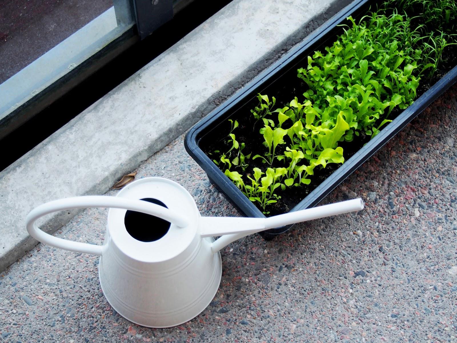 herb, yrtti, herbal, garden, puutarha, piha, istutus, grow, kasvaa, kasvi, vegetable, green, vihreä, ruoka, food, diy, itse, kasvatus, kotikasvimaa, parveke, plant