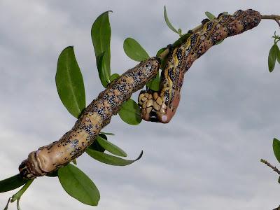 Brahmaea tancrei caterpillar