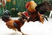 ayam aduan pisau atau ayam filipina