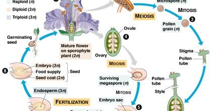 bird life cycle diagram 6 pin trailer plug wiring plant life: angiosperm