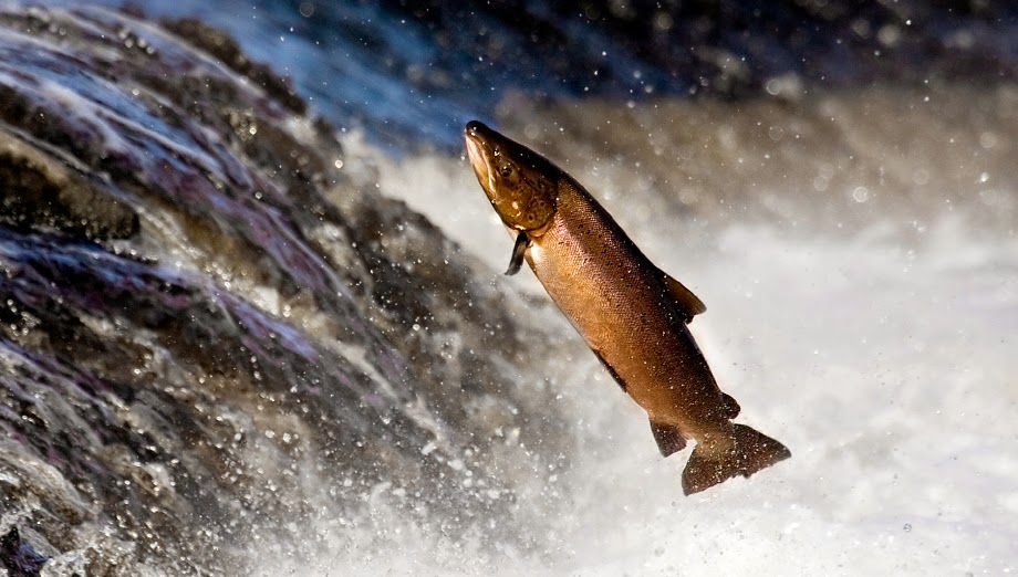 saumon remontant le courant jusqu'à la source