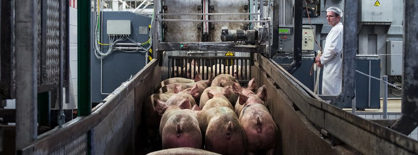 veterinario-inspecao-carnes-suinos