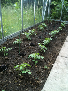 How to grow tomatoes in a greenhouse.