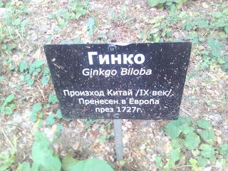 Ginkgo Biloba, Tree, Yambol,