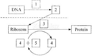 Pembahasan biologi un 2014 no 26 30 diagram sintesis protein ccuart Image collections