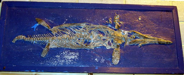 Icthyosaur dinosaur skeleton, framed with a very blue background.