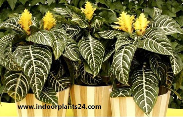 Zebra Plant - Aphelandra Squarrosa indoor house plant image
