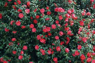 Цветок имени Ирина