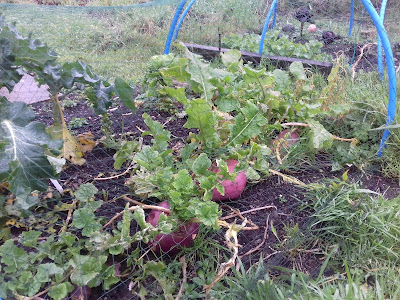 Allotment Growing - Turnips