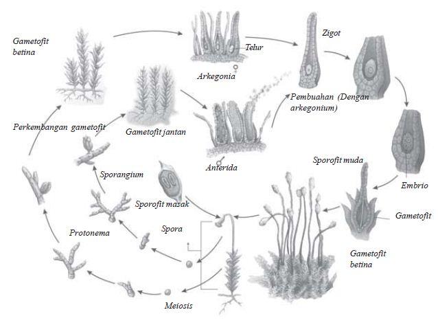 Gerak spermatozoid ke arkegonium pada tumbuhan lumut