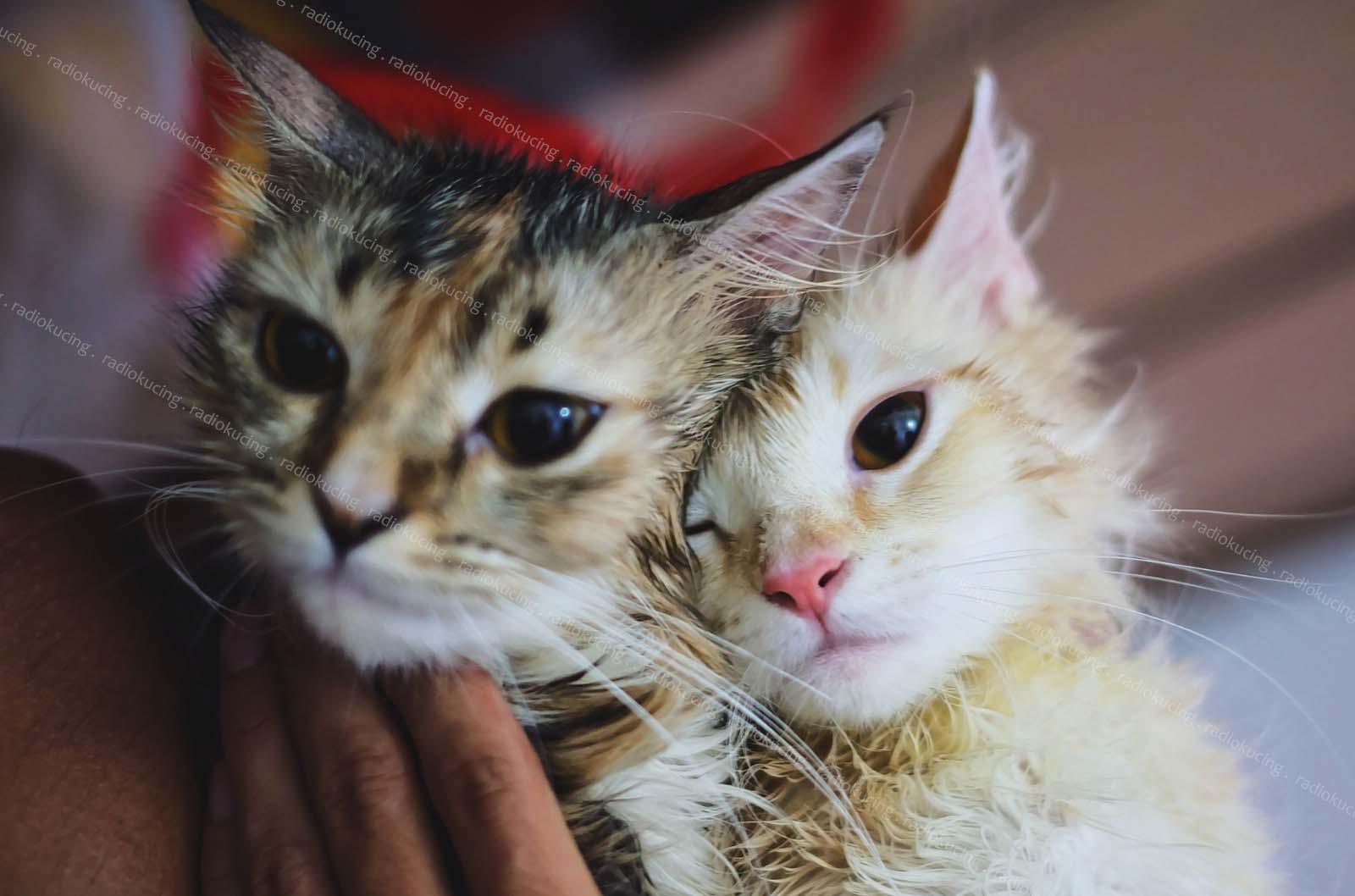 Review Minyak Tawon Penghilang Kutu Jamur Pada Kucing Anjing Dan Hewan Peliharaan Pet Radiokucing Com