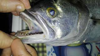 اسنان سمك المياس