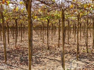 13 Advantages and Disadvantages of Drip Irrigation System